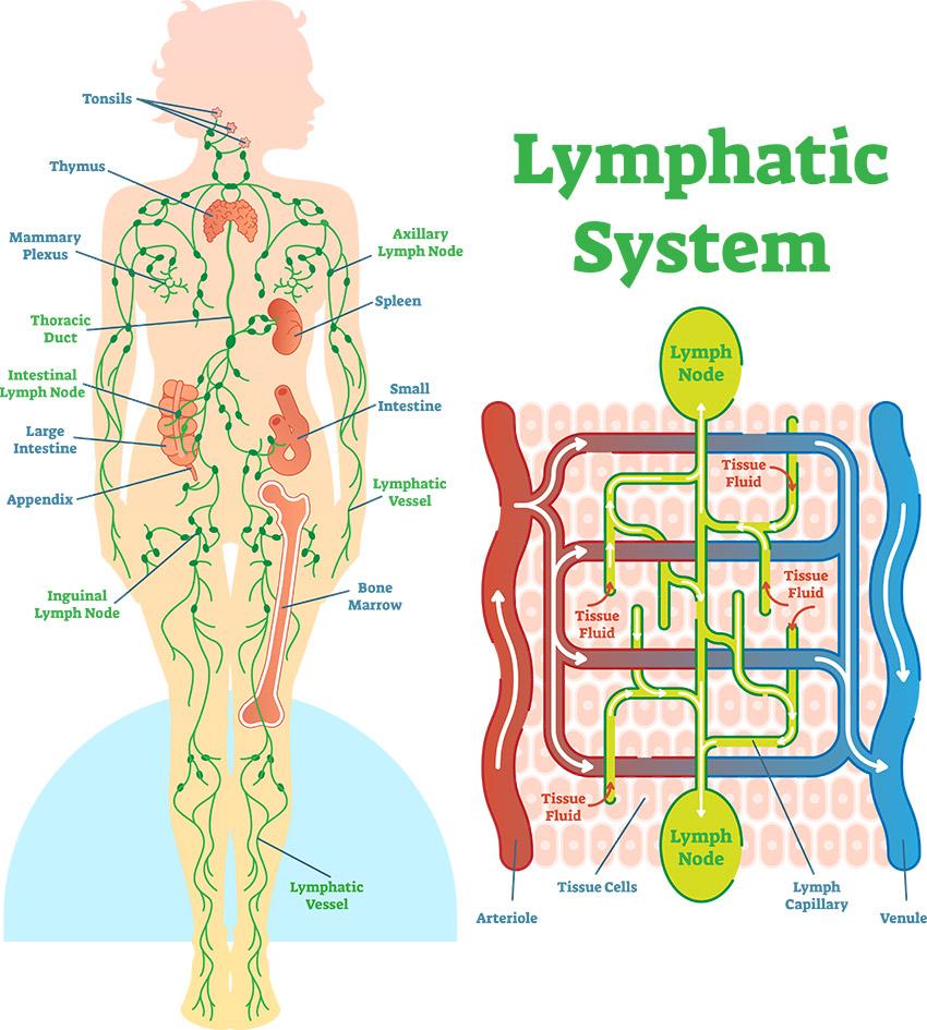Lymphatic System 2
